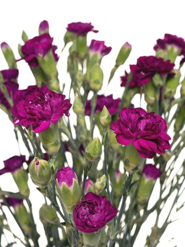 Verzweigte Nelke Kingfisher Special violett in der Detailansicht