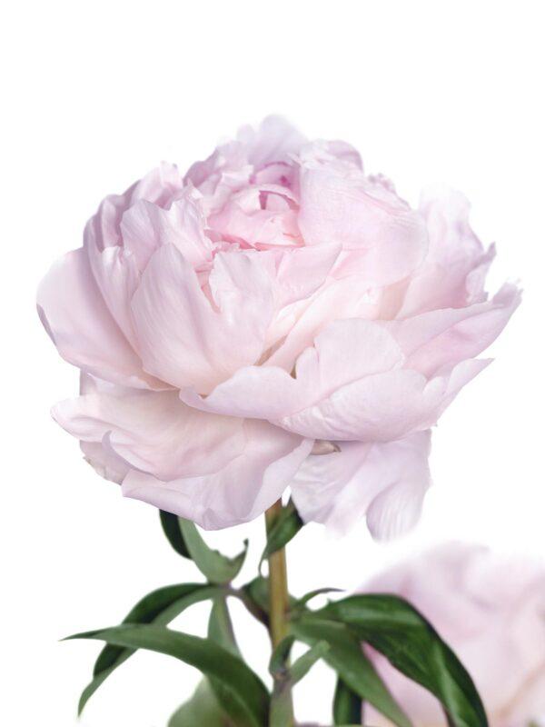Blütenaufnahme der Mothers Choice Pfingstrose in Weiß-Rosa