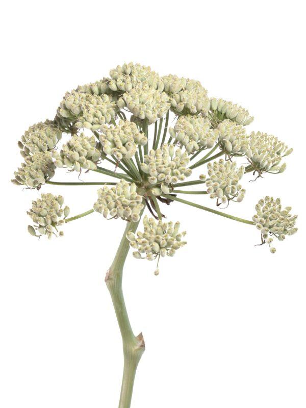 Blütenkopf eines Riesenfenchel Ferula White XL in Weiß-Creme