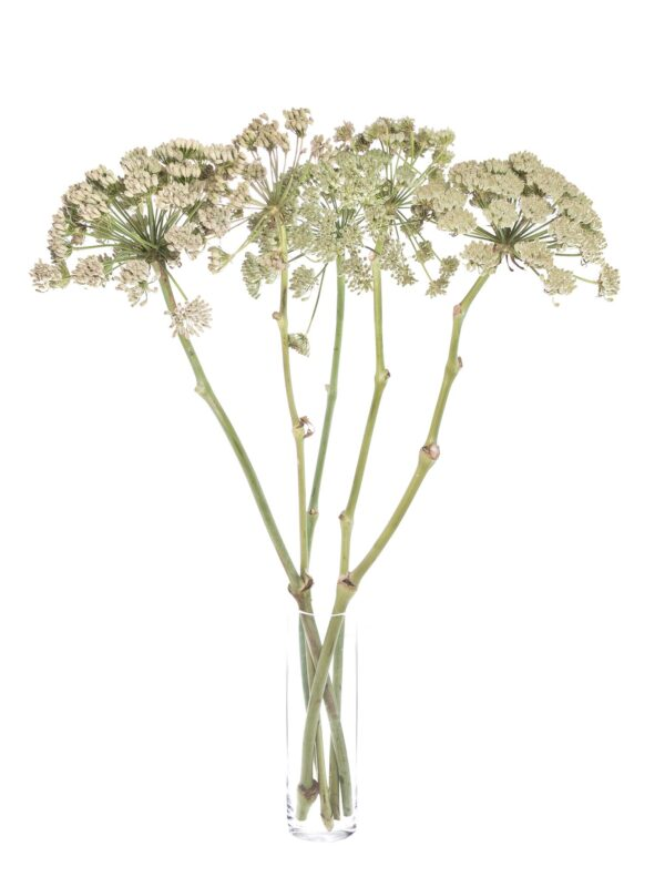Ein ganzer Bund Riesenfenchel Ferula White XL in Weiß-Creme in einer Vase