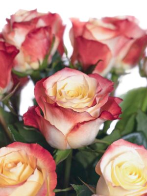 Blütendetail der Rose Cabaret in Creme-Rot