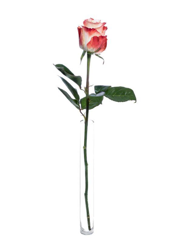 Die Rose Cabaret in Creme-Rot steht einzeln in einer Vase