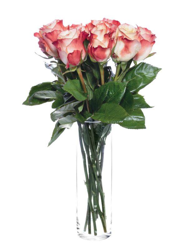 Ein Strauß Rosen der Sorte Cabaret in Creme-Rot