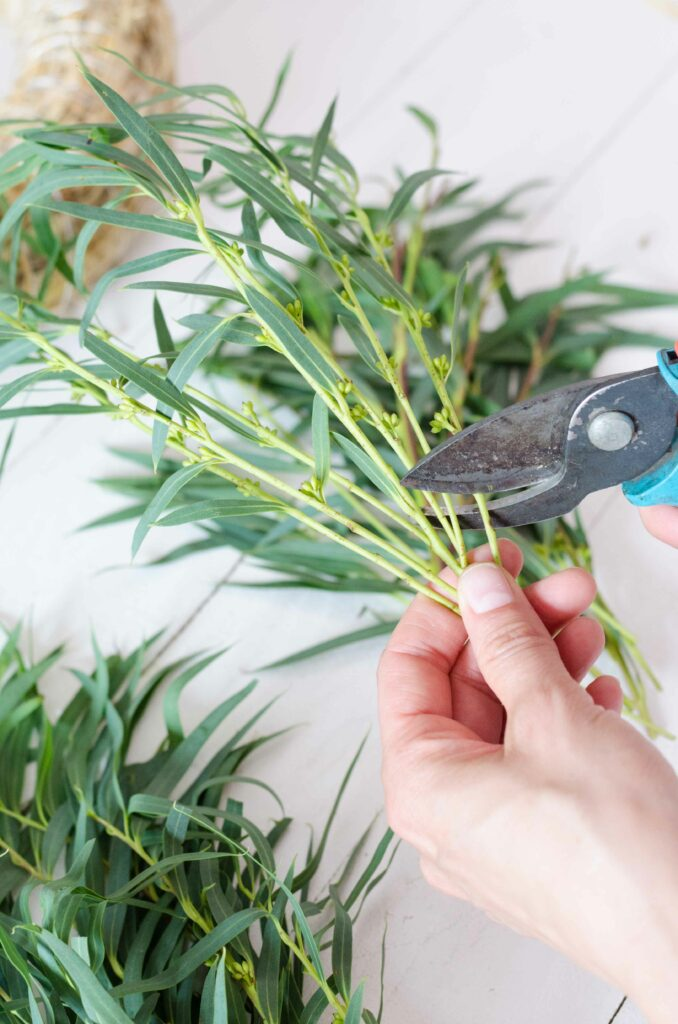 Eukalyptus Nicoli mit Gartenschere zurechtschneiden