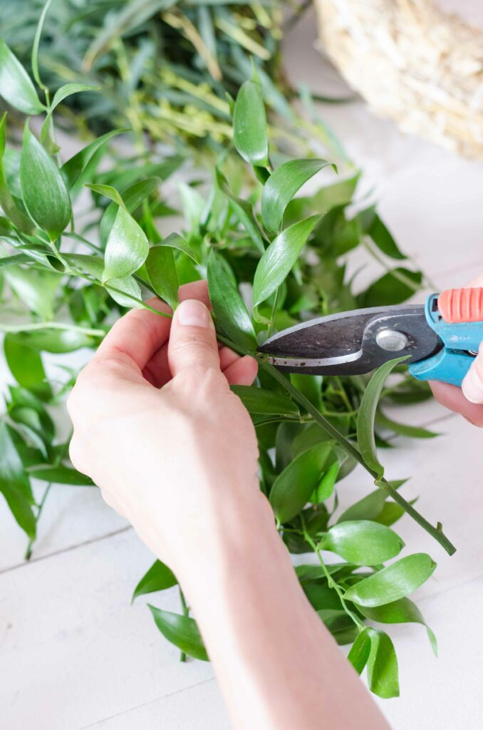 Ruscus mit Gartenschere zurechtschneiden