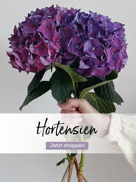 Lila Hortensien mit großer Blütenkugel in der Hand gehalten