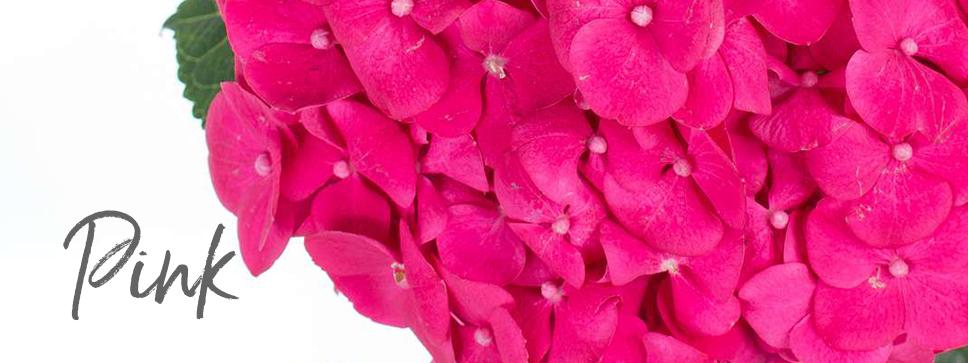 Pinke Blumen Hortensie