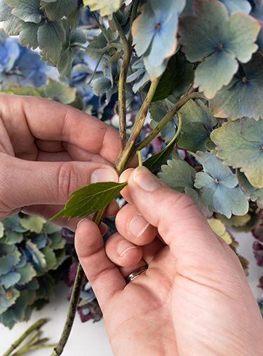 Blätter der bunten Hortensien abzupfen