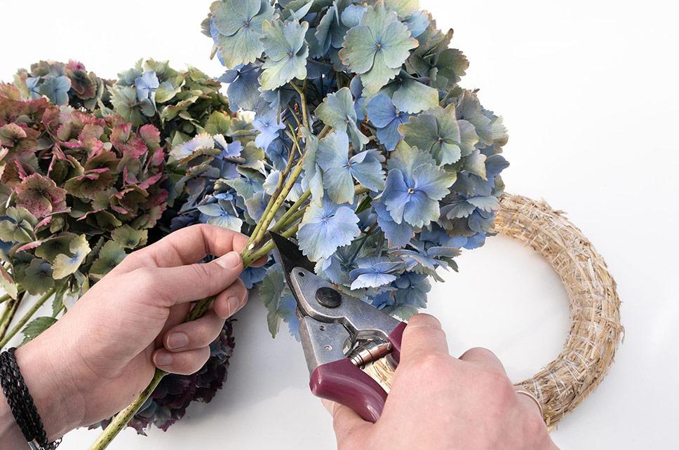 Hortensie mit Gartenschere zurechtschneiden
