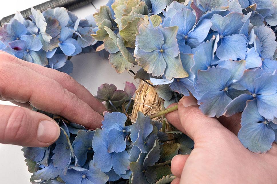 Blau-grüne Hortensien am Strohrömer befestigen