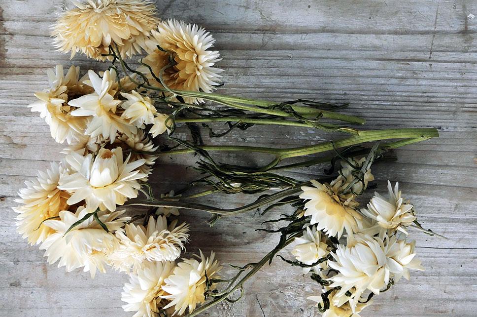 Trockenblumen Strohblumen verschiedene Längen